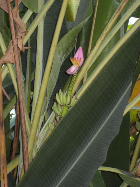 bananblomma