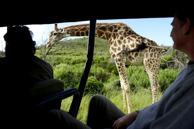 giraff_bil