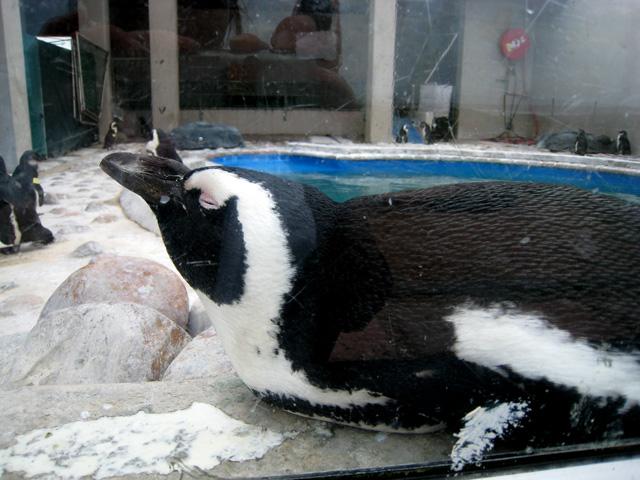 pingvin_vila